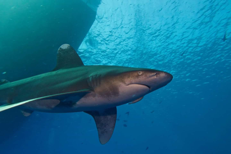 shark home p
